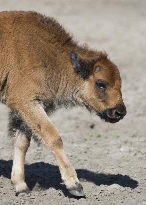 Turistas pensavam que filhote de bisonte estava com frio - John Macdougall/AFP Photo
