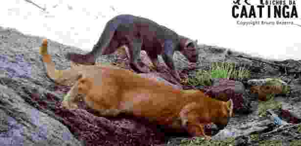 O registro foi feito pelo projeto Bichos da Caatinga, que monitora animais que vivem no agreste de Pernambuco  - Bruno Bezerra/Bichos da Caatinga - Bruno Bezerra/Bichos da Caatinga
