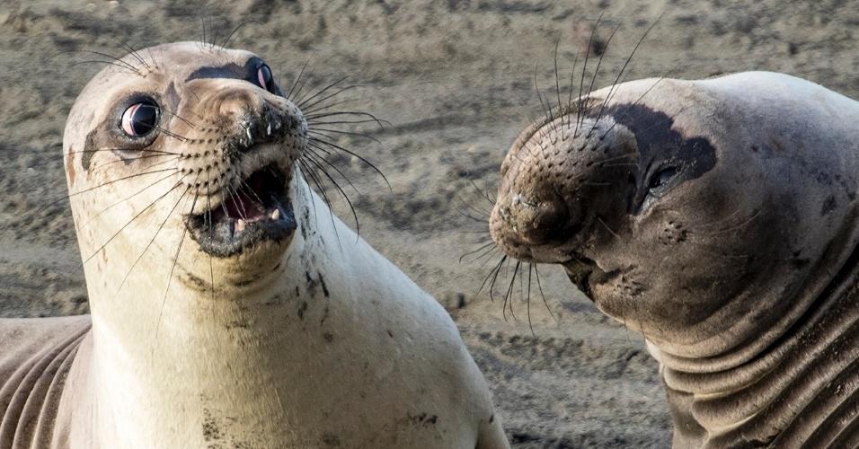 O quê?! - Para fechar a série, a cara de espanto dessa foca em San Simeon, na Califórnia