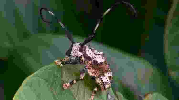 Besouro-escorpião - Arquivo pessoal/Antonio Sforcin - Arquivo pessoal/Antonio Sforcin