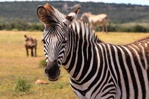 Zebra é animal preto com listras brancas ou branco com listras pretas? (Foto: Magda Ehlers/ Pexels)