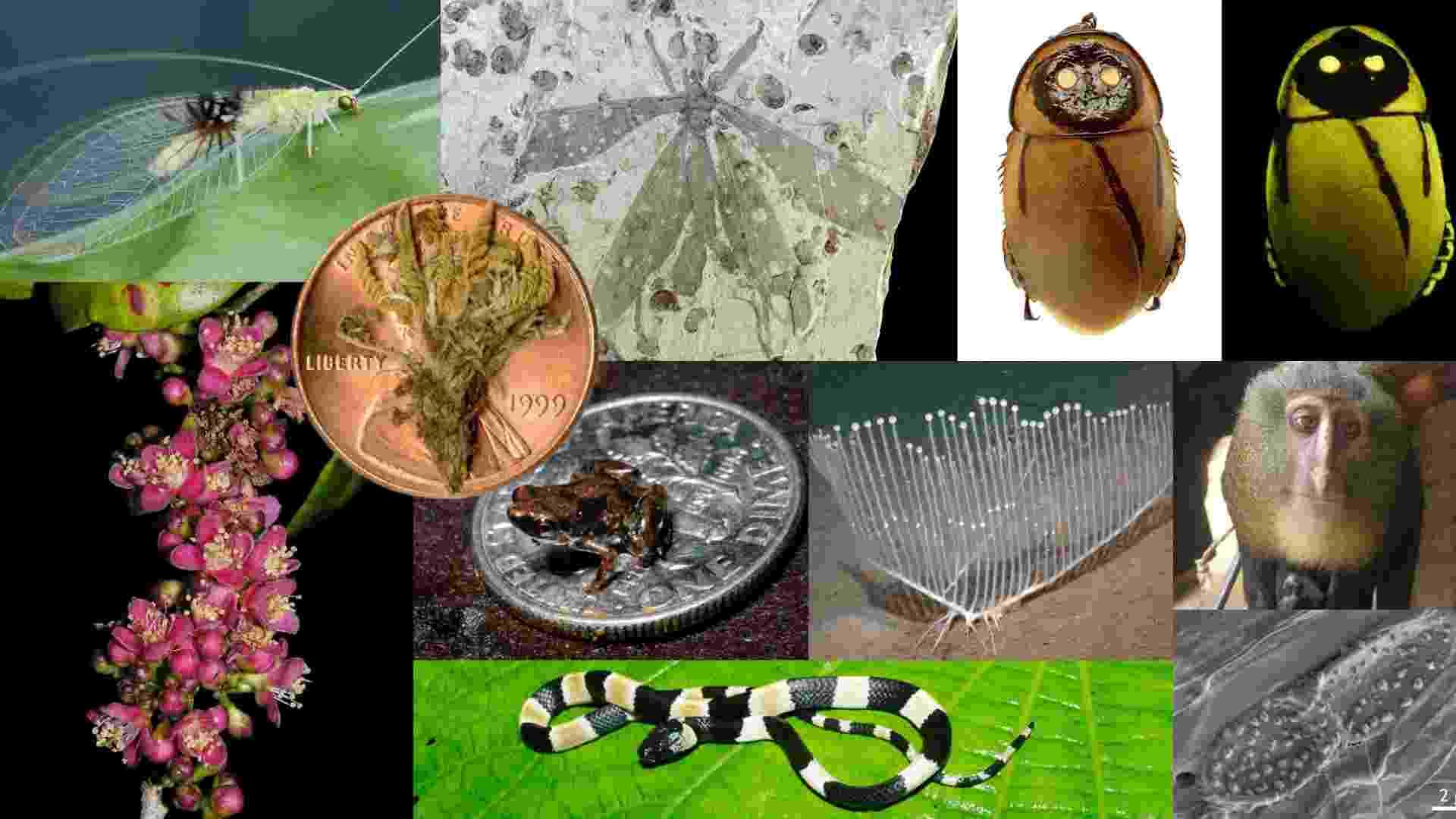23.mai.2013 - O Instituto Internacional da Exploração de Espécies, da Universidade do Arizona, nos Estados Unidos, divulgou nesta quinta-feira (23) a lista das espécies mais notáveis nomeadas em 2012. O Instituto, que reúne um comitê global de taxonomistas, escolheu os dez seres - seja do mundo botânico, zoológico ou microbiológico - das mais de 140 espécies identificadas cientificamente no ano passado - Jacob Sahertian
