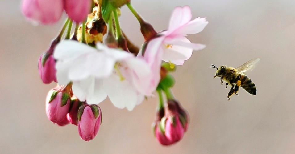 """24.mai.2013 - Abelha coleta pólen das flores de uma cerejeira japonesa no parque Kungstradgarden, no centro de Estocolmo, na Suécia, na quinta-feira (23). A Comissão Europeia afirmou nesta sexta-feira (24) que vai proibir por dois anos, com início em dezembro de 2013, o uso de três pesticidas das gigantes Bayer e Syngenta apontados como responsáveis pela morte de abelhas que polinizam as culturas de alimentos de frutas. A decisão de proibir os inseticidas """"é mais um marco no sentido de garantir um futuro mais saudável"""", afirmou o comissário de Saúde da União Europeia, Tonio Borg"""