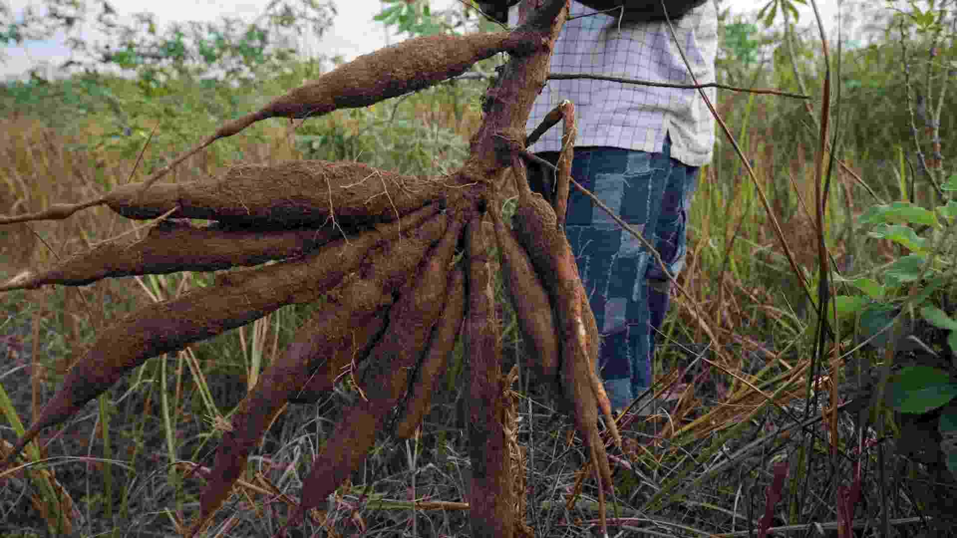 """28.mai.2013 - Um novo modelo de agricultura pode aumentar de maneira sustentável os rendimentos gerados pelo cultivo da mandioca em 400%, segundo a FAO (Organização das Nações Unidas para a Alimentação e a Agricultura). Para o órgão, o tubérculo com """"grande potencial"""" pode substituir o trigo e se transformar no principal cultivo do século 21 - AFP"""