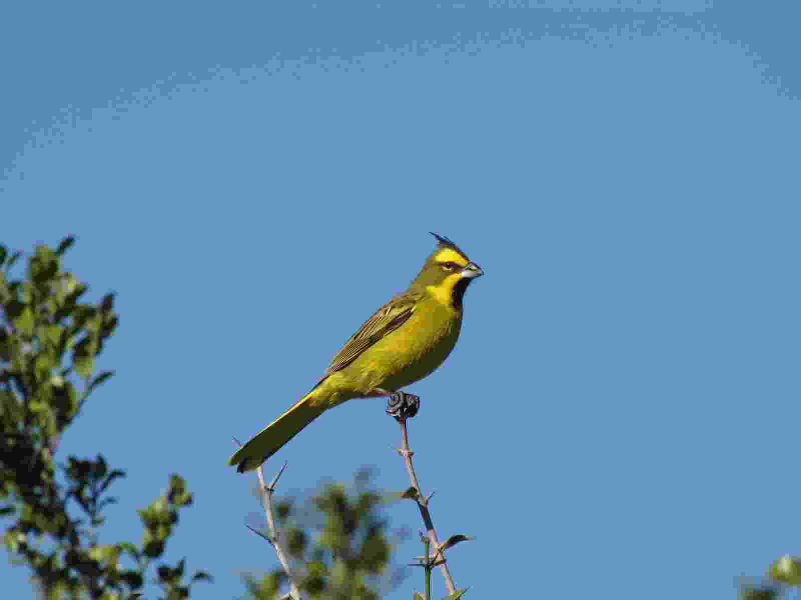 """O cardeal-amarelo (""""Gubernatrix cristata"""") é uma espécie só encontrada no bioma do Pampa, no Sul do Brasil. A plumagem vistosa e o canto agradável tornam a espécie uma das mais cobiçadas pelo mercado ilegal de pássaros silvestres, diz relatório do ICMBio - Alvaro Riccetto Revello/Projeto Cardeal Amarelo"""