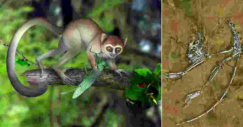 """5.jun.2013 - Restos fossilizados de 55 milhões de anos achados na China (à direita) revelaram ser do primata mais antigo já conhecido pelo homem. De acordo com o paleontólogo Xijun Ni, da Academia Chinesa de Ciências em Pequim, o """"Archicebus achilles"""" tinha apenas alguns centímetros de altura, pesava pouco mais de 30 gramas e era adaptado para viver em árvores. Com membros delgados, uma cauda longa e dedos finos, """"deve ter sido um excelente saltador de árvores, ativo durante o dia, e que se alimentava principalmente de insetos"""", destaca o autor do estudo publicado na revista Nature - Xijun Ni, Institute of Vertebrate Paleontology and Paleoanthropology, Chinese Academy of Sciences/AP e EFE"""