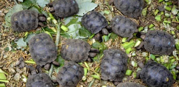 6.jun.2013 - Pequenas tartarugas com genes de tartarugas-gigantes-de galápagos são alimentadas em cativeiro na ilha de Santa Cruz, no arquipélago de Galápagos