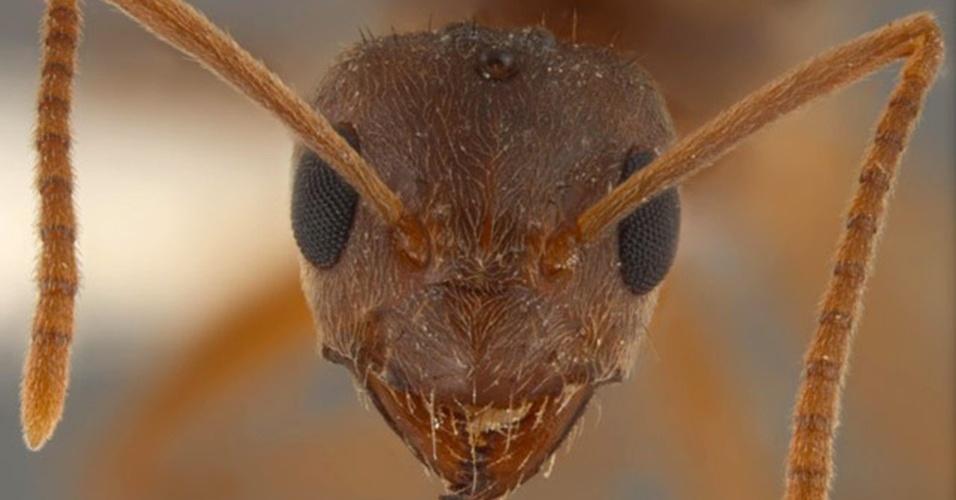 """10.jun.2013 - Formigas """"loucas"""" estão infestando os Estados Unidos e causaram um prejuízo de US$ 146,5 milhões em um ano apenas no Texas. Do Texas a Florida, a espécie """"Nylanderia fulva"""", que teria sido levada do Brasil ou da Argentina sem querer por humanos, está comendo eletrônicos e até mordendo animais. A pequena formiga de 0,32 cm foi vista pela primeira vez perto de Houston em 2002. Ela é altamente invasiva e tem atração por componentes químicos. Quando morde um cabo, a formiga morre eletrocutada, mas solta um cheiro que atrai mais formigas para o local. Elas também morrem e atraem mais formigas, o que causa curto-circuitos e grandes prejuízos"""