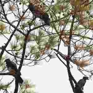 10.jun.2013 - O grupo localizou três pequenos grupos de Cacau, como a ave é popularmente conhecida na América Central, nos riachos e na cadeia de montanhas que cercam o vale de Agalta, na província de Olancho, em Honduras, próxima à fronteira com a Nicarágua - David Medina