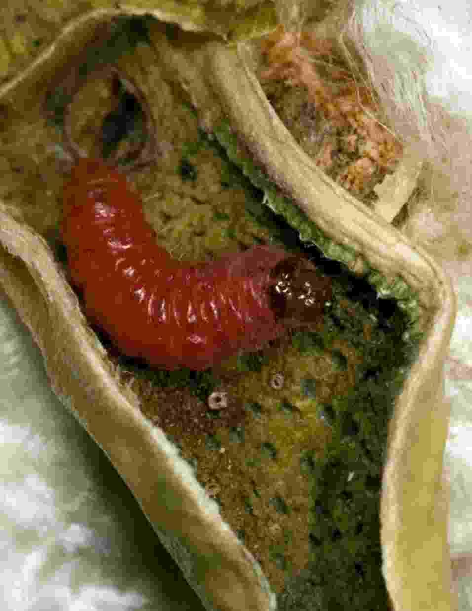 """13.jun.2013 - Cientistas franceses e norte-americanos descobriram que mais espécies de pragas estão ficando resistentes aos populares cultivos transgênicos Bt - plantas que carregam um gene que exala a bactéria """"Bacillus thuringiensis"""", que é tóxica para os insetos. Das 13 principais espécies examinadas, cinco pragas eram resistentes em 2011 - em 2005, havia apenas uma -, sendo três de algodão e duas de milho. A  lagarta rosada (""""Pectinophora gossypiella"""") é uma delas: a praga tornou-se resistente aos cultivos de algodão Bt em apenas seis anos na Índia - Alex Yelich/The University of Arizona"""