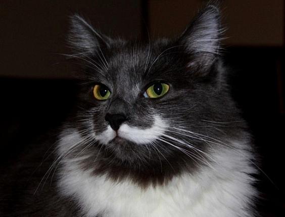 """13.jun.2013 - O gato Hamilton tem pelagem que lembra um bigode e vira sucesso no Facebook com o perfil """"Hamilton the Hipster Cat"""""""