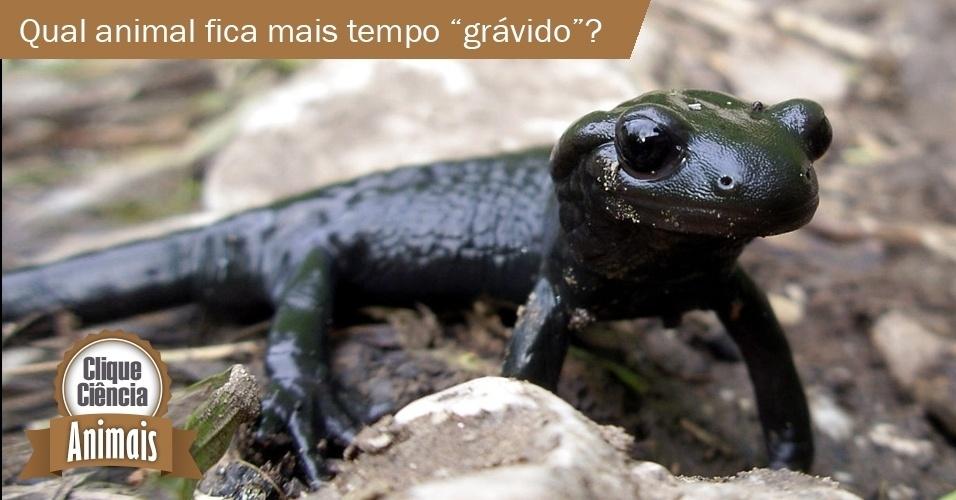 """A Salamandra Alpina (""""Salamandra atra""""), anfíbio que vive no Alpes Suíços, precisa de cerca de 38 meses para que seus filhotes se desenvolvam completamente. Sua gestação de três anos e dois meses é superior à da elefanta asiática, comumente citada como a espécie com a maior gestação do mundo animal"""