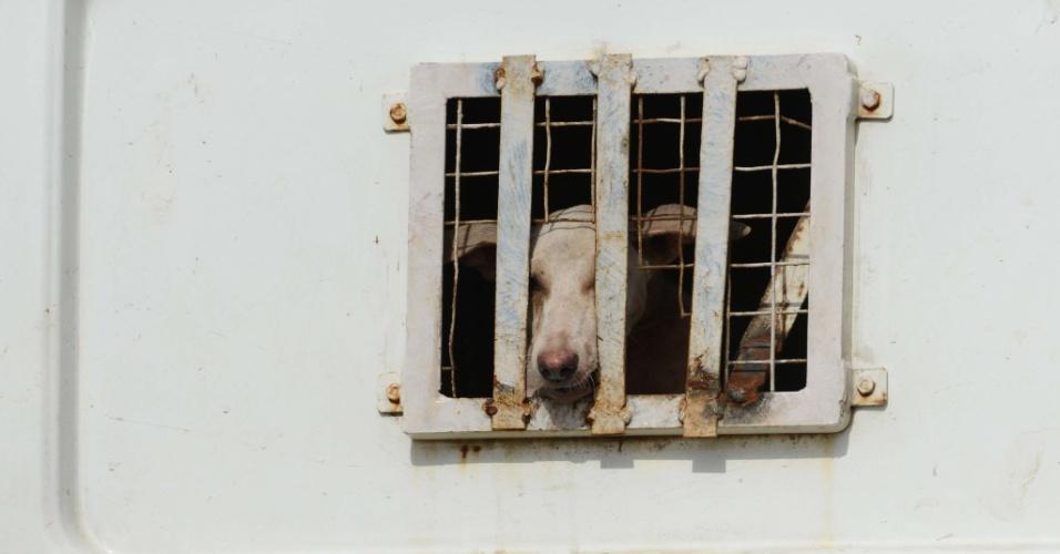 22.jun.2013 - Um cachorro olha por trás da grade do caminhão da ?carrocinha? depois de ser capturada na cidade de Ahmedabad, na Índia