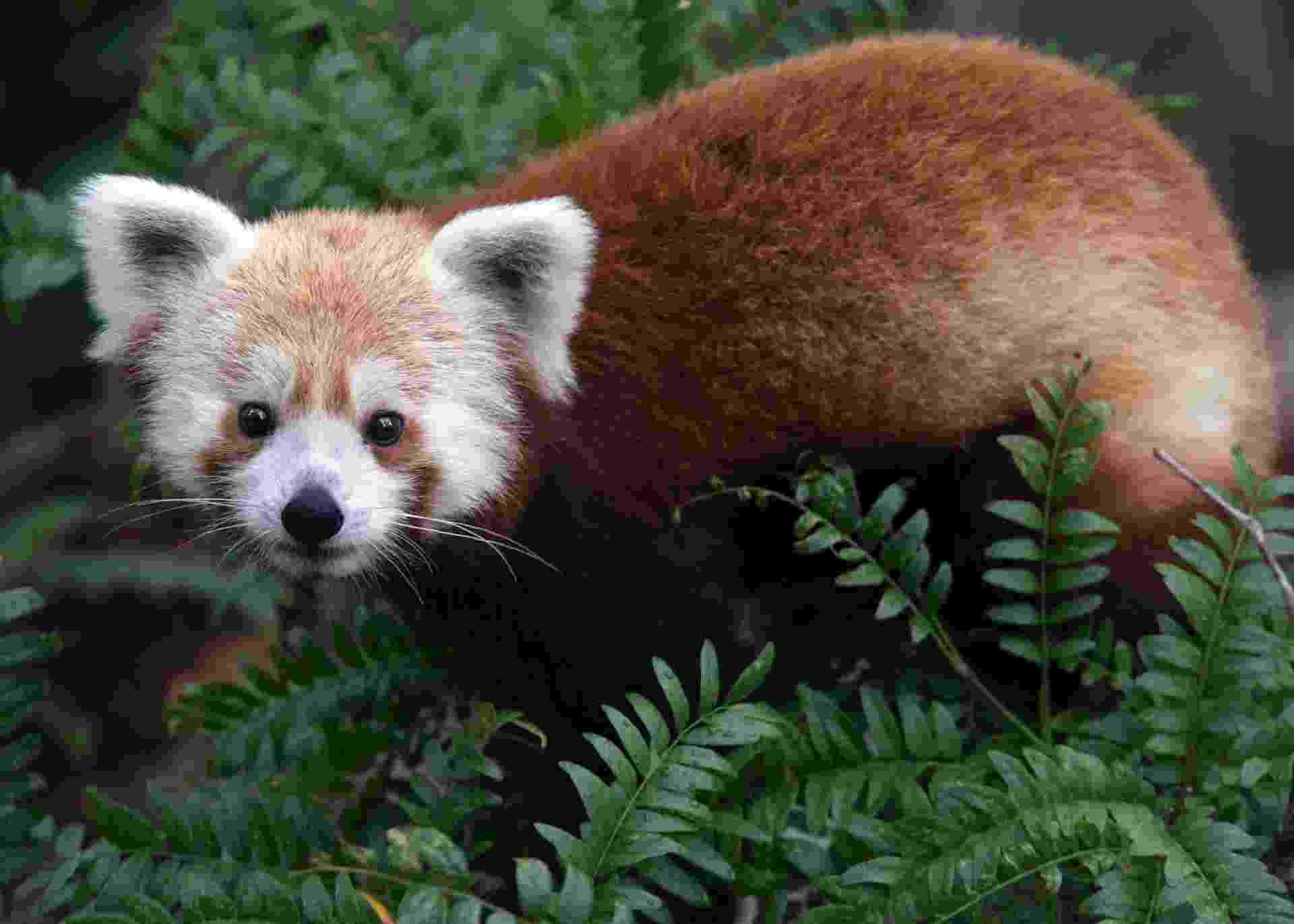"""24.jun.2013 - O Zoológico Nacional de Washington, nos Estados Unidos, chegou a anunciar no seu Twitter que tinha perdido um panda vermelho (""""Ailurus fulgens"""") macho poucas semanas depois de ter sido exposto ao público. Rusty, que fará um ano em julho de 2013, foi recuperado em menos de 24 horas """"são e salvo"""". O panda vermelho é um pequeno mamífero com pelagem escura que vive em árvores do Himalaia e do Sudoeste da China. Depois que 30% da população foi dizimada nas últimas três décadas, a espécie foi considerada """"vulnerável"""" pela União Internacional para a Conservação da Natureza (IUCN, na sigla em inglês)  - atualmente, há cerca de 10 mil indivíduos na natureza - Abby Wood/The Smithsonian National Zoo/Reuters"""