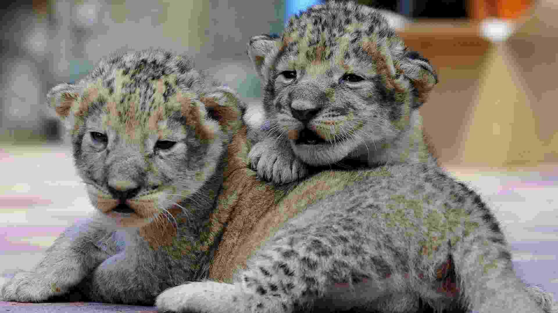 26.jun.2013 - Leões com uma semana de vida fazem primeira aparição pública nesta quarta-feira (26)  em zoológico de Starvropol (Rússia) - Danil Semyonov/AFP