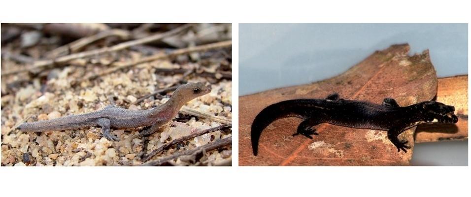 """4.jul.2013- O lagarto """"Coleodactylus meridionalis"""" é encontrado na costa atlântica do Brasil, do Ceará até a Bahia. Em estudo publicado em janeiro de 2013, a espécie foi encontrada na caatinga, no Rio Grande do Norte e na Bahia. Descrito pela primeira vez em 1888, o lagarto é conhecido por seu tamanho minúsculo: de 20 a 28 milímetros"""