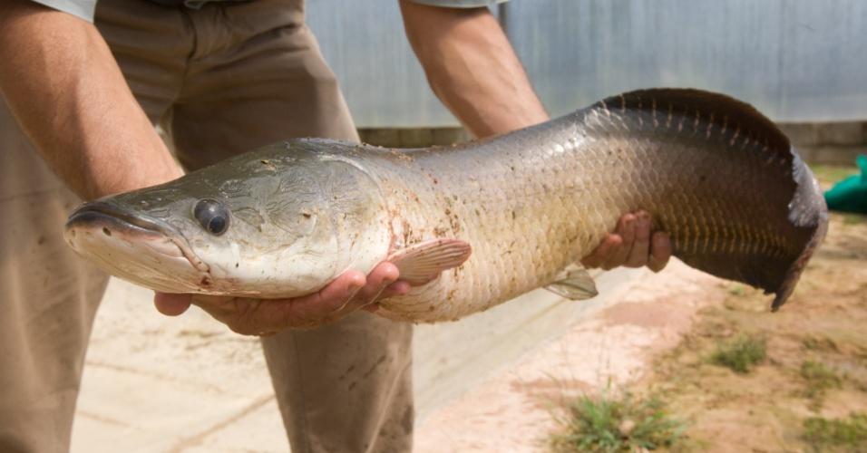 O pirarucu pode ser criado em cativeiro em outros Estados, como acontece na piscicultura Colpani, do empresário Martinho Carlos Colpani Filho, em Mococa, interior de São Paulo