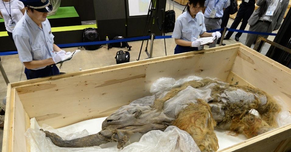 9.jul.2013 - Japoneses expõe filhote de mamute de 39.000 anos. A bebê Yuka fica em exposição em Yokohama, subúrbio de Tóquio até 16 de setembro
