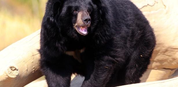 Exemplar de urso preto asiático