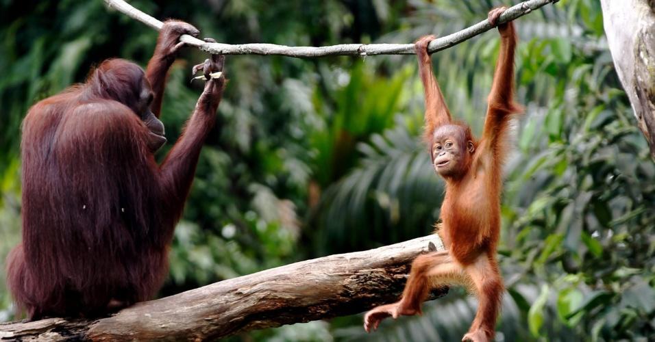 11.jul.2013 - Uma diferença de 3,1% do DNA distingue os macacos da Ásia, como é o caso do orangotango, dos seres humanos e também dos símios africanos - ou seja, os animais têm 96,9% de compatibilidade, em média, com as pessoas