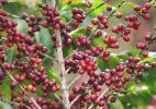 Brasil terá safra recorde de café para ano de baixa produção - Edson Silva/Folhapress