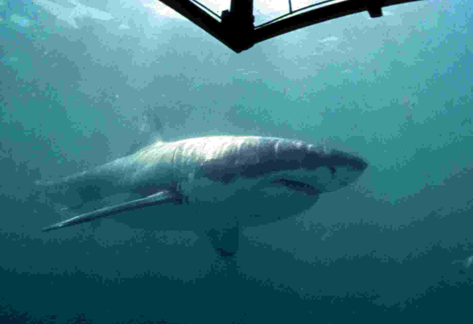 17.jul.2013 - O tubarão branco não tem uma bexiga natatória para controlar a flutuação necessária para longas viagens. Por isso, esse grande predador acumula gordura no fígado que ajuda a neutralizar o peso do seu corpo na água, como também como uma boa fonte de energia para nados migratórios. Segundo estudo da Universidade de Stanford, nos Estados Unidos, um fígado de tubarão branco de 456 quilos, contendo 400 litros de óleo, pode fornecer até 50 quilos de empuxo - White Shark Research Institute/Reuters