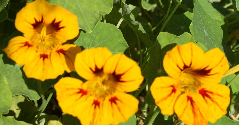 No Brasil, as flores da capuchinha podem ser laranja, vermelha ou amarela, como a da foto