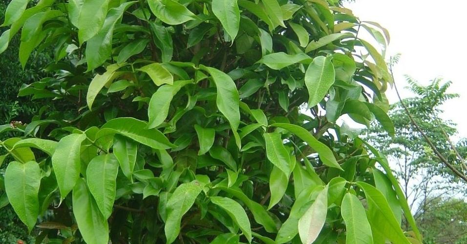 As folhas do ora-pro-nóbis são tradicionais da culinária mineira