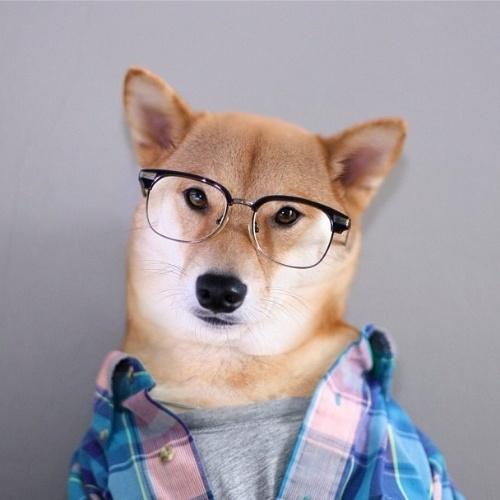 Cães da raça Shiba Inu já são naturalmente (ou seria literalmente?) fofos. Mas o perfil no Instagram @MenswearDog (http://instagram.com/mensweardog) mostra que eles também podem ser muito chiques. O cãozinho acima, de 3 anos, mora em Nova York (EUA) e vive mostrando seu ''look do dia'' na rede social. Com tanto estilo, o cão até já estrelou uma campanha de uma marca famosa de gravatas