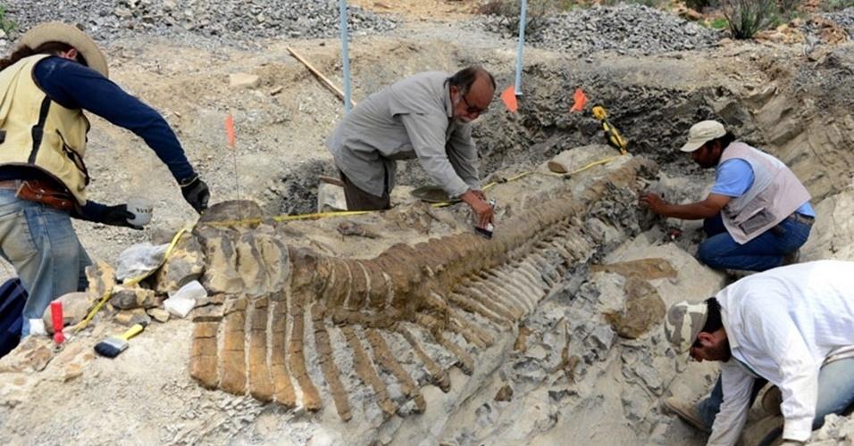 23.jul.2013 - Arqueólogos recuperaram 50 vértebras da única cauda articulada de um dinossauro descoberta no México. Os restos pertencem a um hadrossauro de 72 milhões de anos e somam cinco metros, quase a metade do comprimento do herbívoro. Os ossos foram encontrados em 2005 em uma jazida de Coahuila, mas só começaram a ser escavados no último dia 2 de julho, segundo o Instituto Nacional de Antropologia e História do México