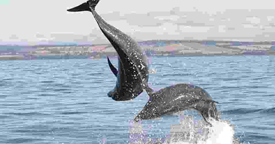"""23.jul.2013 - Golfinhos usam """"assobios"""" para dar nome aos seus colegas para permanecerem juntos como grupo, mostra estudo da Universidade de Saint Andrews, na Escócia. O grupo liderado por Vincent Janik gravou o som que identificava cada um dos golfinhos nariz de garrafa (foto) e reproduziu o barulho com alto-falantes sob a água: os animais só responderam ao seu assobio, repetindo-o como se tivessem respondendo ao chamado - University of St. Andrews"""