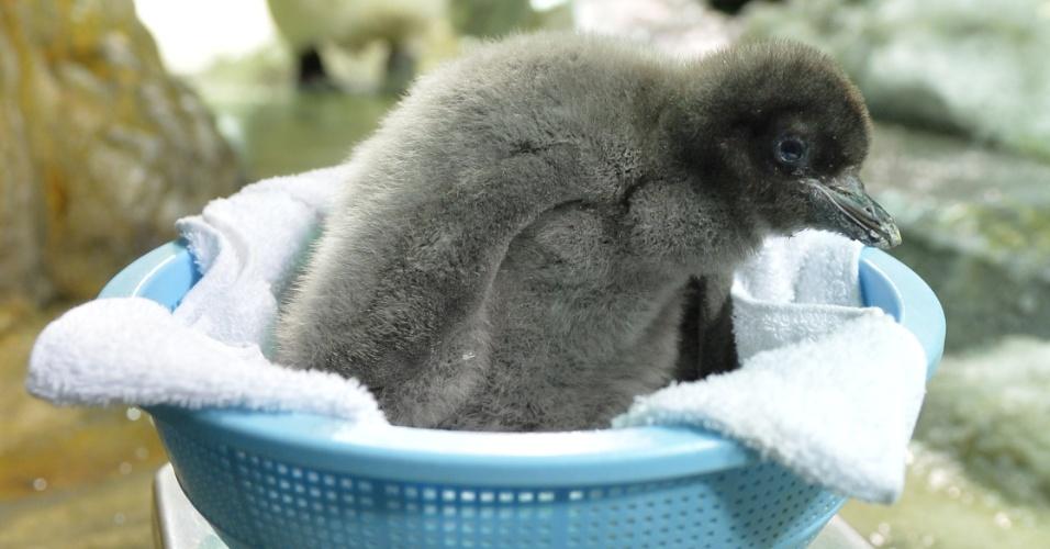 26.jul.2013 - Adelie, pinguim nascido em 10 de julho, é pesado nesta sexta-feira (26) no Aquário Kaiyukan, em Osaka (Japão)