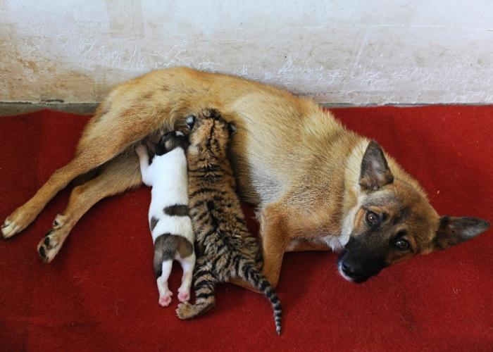 26.jul.2013 - Cadela amamenta sua cria e um filhote de tigre, nesta sexta-feira (26), no zoológico de Hefei, em Anhui (China). A tigresa não conseguiu produzir leite suficiente para alimentar o recém-nascido, segundo autoridades