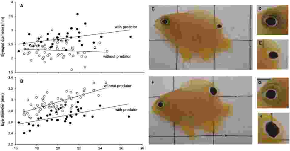"""29.jul.2013 - A presença de predadores afeta o comportamento, o crescimento e o padrão de cores do peixe damisela (""""Pomacentrus amboinensis""""), mostra um estudo da Universidade James Cook, na Austrália. Os animais que ficaram no tanque com uma espécie predadora - mas contida dentro de uma bolsa de plástico para não colocar em risco os peixes - durante seis semanas desenvolveram na barbatana dorsal um """"olho falso"""" maior do que o diâmetro de seus próprios olhos (F, G e H) e do que a mancha dos peixes de controle, que foram colocados ou juntos a espécies herbívoras ou foram isolados. Além disso, os peixes com predadores eram mais cautelosos em seu comportamento, menos ativos e permaneciam escondidos mais tempo em comparação com os outros grupos - Scientific Reports"""