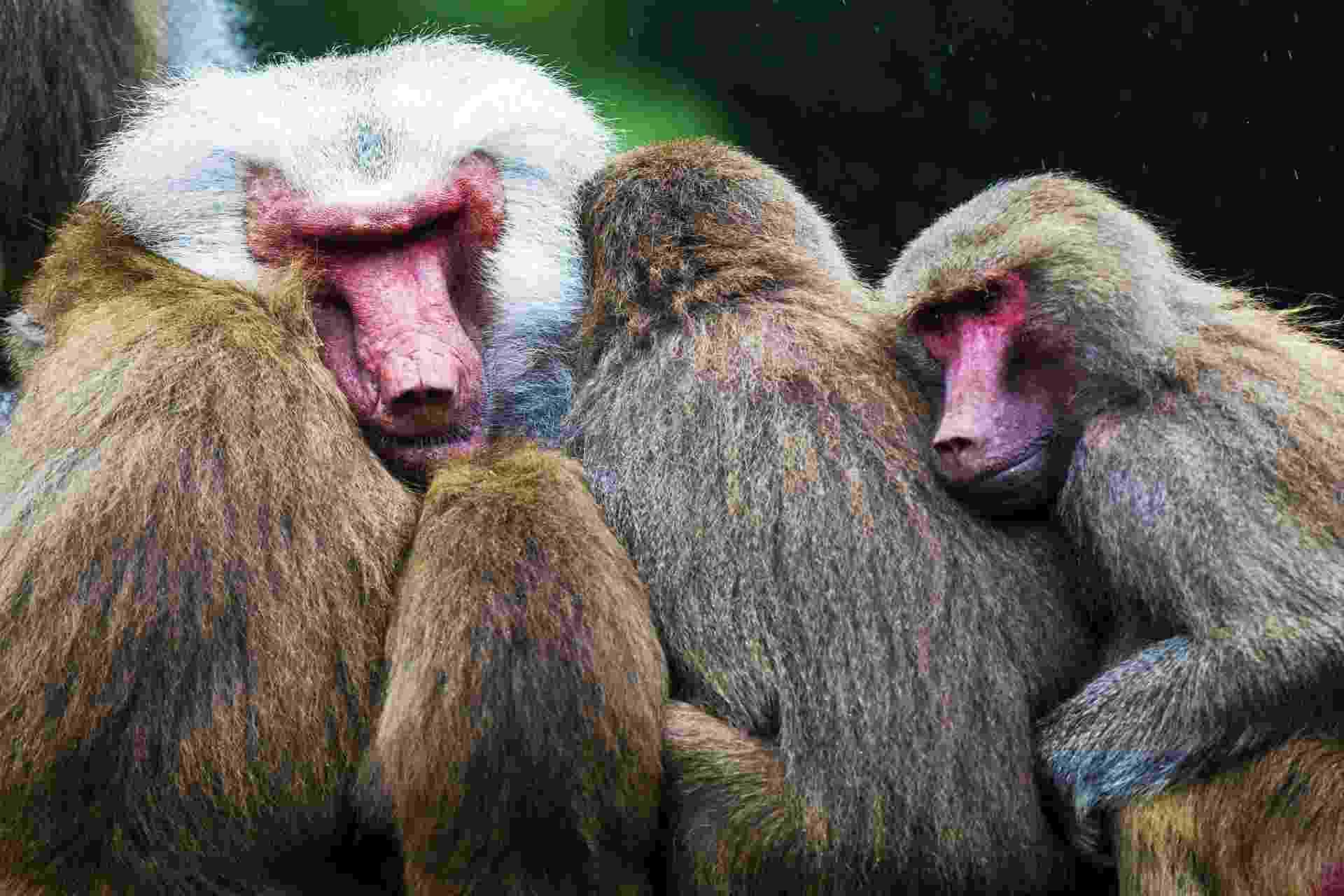 2.ago.2013 - Funcionários do zoológico de Emmen, na Holanda, estão preocupados com o comportamento dos babuínos nos últimos dias. Os 112 primatas permaneceram parados, juntos uns dos outros, sem comer ou brincar no recinto desde segunda-feira (29) - alguns voltaram a comer maças só nesta sexta-feira (2) - Vincent Jannink/Efe