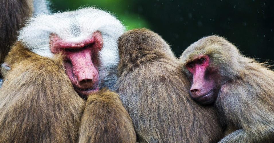 2.ago.2013 - Funcionários do zoológico de Emmen, na Holanda, estão preocupados com o comportamento dos babuínos nos últimos dias. Os 112 primatas permaneceram parados, juntos uns dos outros, sem comer ou brincar no recinto desde segunda-feira (29) - alguns voltaram a comer maças só nesta sexta-feira (2)