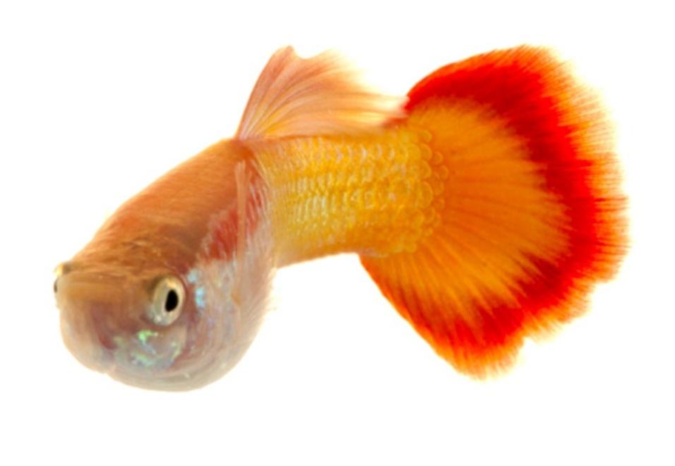 """2.ago.2013 - Os machos da espécie """"Poecilia reticulata"""" podem ser considerados zumbis, já que esses peixes continuam a se reproduzir mesmo dez meses após sua morte"""