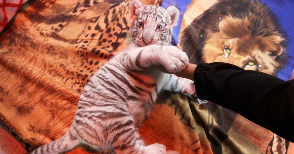 5.ago.2013 - O primeiro filhote de tigre bengala branco nascido em cativeiro no Peru brinca na ala de filhotes do zoológico limenho de Huachipa. A fêmea nasceu no dia 25 de junho e já pesa mais de cinco quilos. Ela está isolada de outros animais e recebe os cuidados de um grupo de especialistas, que vigiam sua alimentação e controlam seus sinais vitais