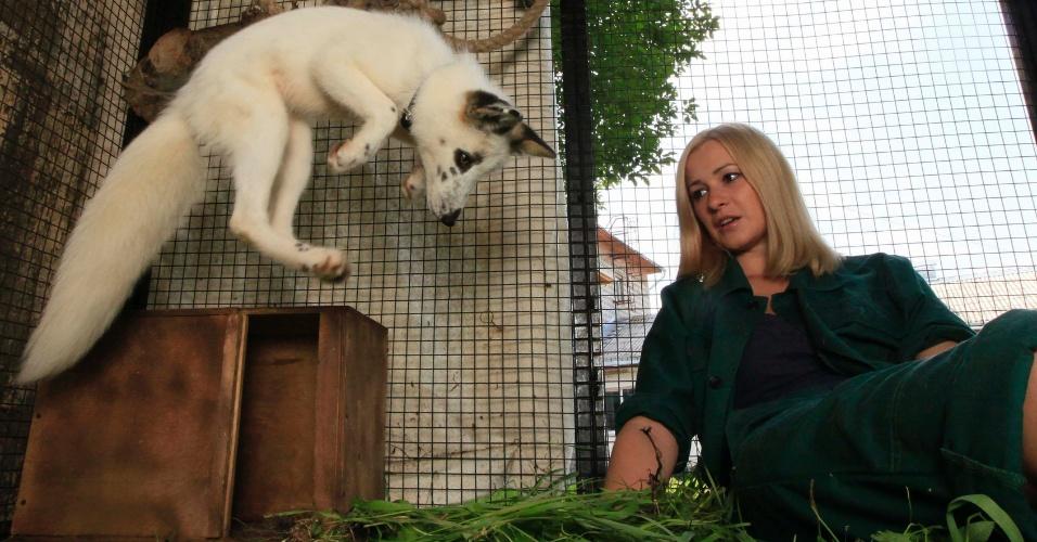 6.ago.2013 - Empregada do zoológico Royev Ruchey, na Rússia, Yekaterina Mikhailova, brinca com Vesna, uma fêmea de filhote de raposa, com quatro meses de idade. Vesna é a primeira tentativa do zoológico de domesticar uma raposa selvagem