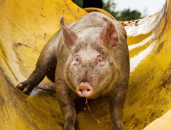 6.ago.2013 - Porco usa escorregador para mergulhar em piscina de lama em uma fazenda em Bathmen, Holanda. O agricultor Erik Stegink comprou o escorrega para oferecer diversão aos animais