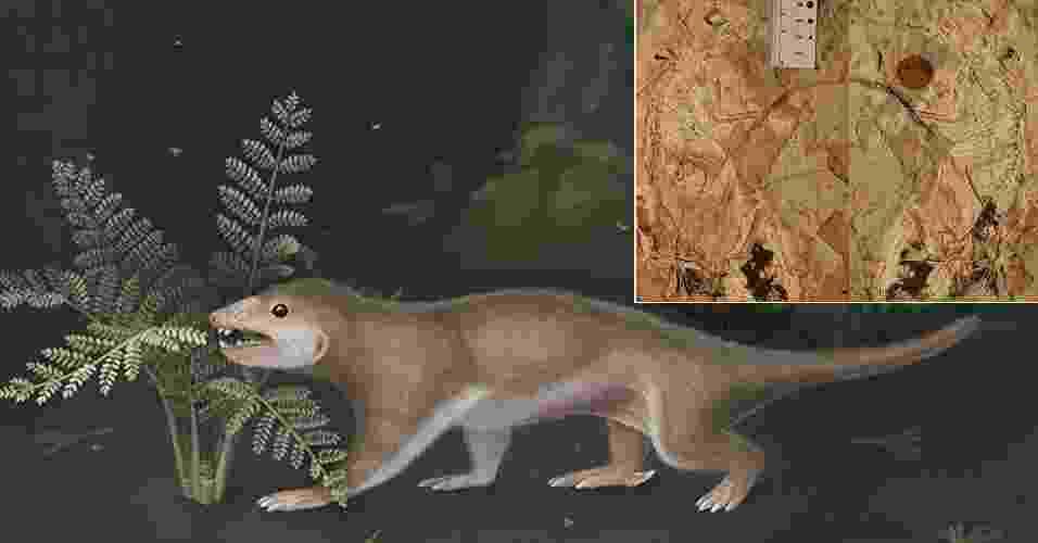"""7.ago.2013 - Equipe internacional de paleontólogos revelou como seria o """"Megaconus"""", que viveu há cerca de 165 milhões de anos. O animal, que era conhecido apenas por seus dentes pequenos e bem afiados, bagunçou a árvore genealógica quando o grupo liderado por Thomas Martin, da Universidade de Bonn (Alemanha), descobriu que ele tinha pelagem curta, característica até então dos mamíferos. Considerado agora como um """"ancestral"""" do esquilo, o """"Megaconus"""" tinha o tamanho aproximado de um rato, comia vegetais mais firmes e se locomovia basicamente no chão, já que suas garras não tinham curvatura suficiente para que ele saltasse entre os galhos das árvores. O estudo foi feito a partir de um fóssil (detalhe à direita) encontrado no Noroeste da China - April Isch, Zhe-Xi Luo, University of Chicago"""