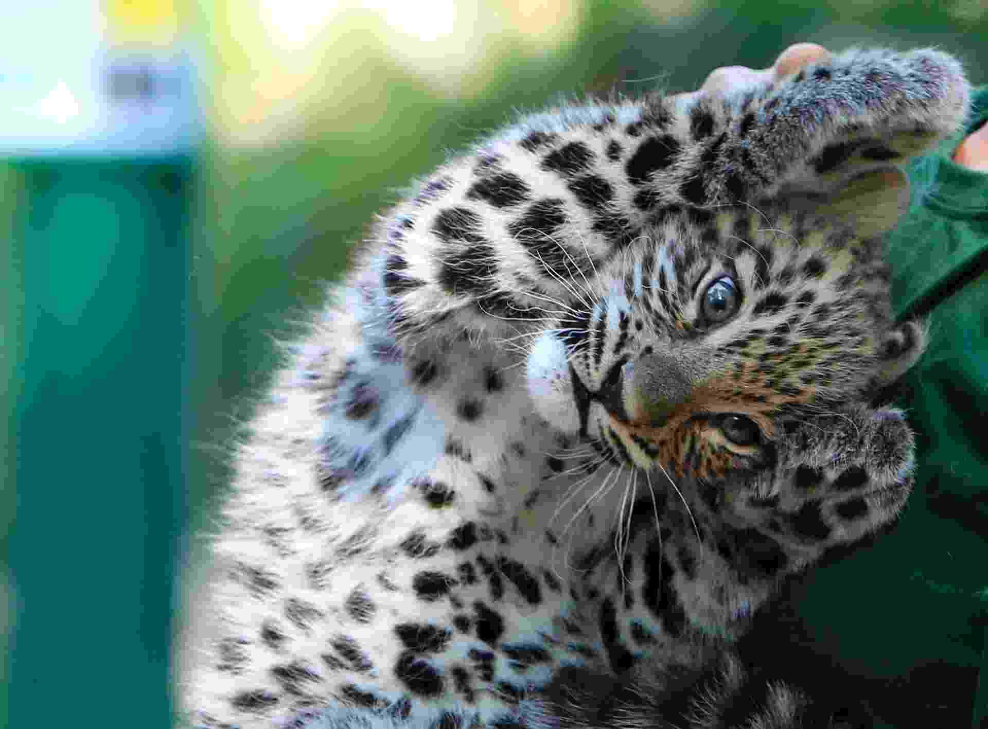 7.ago.2013 - Filhote de leopardo persa chamado Dante, que nasceu em 10 de junho, levanta as patas durante exame médico no zoológico de Budapeste, na Hungria - Bernadett Szabo/Reuters