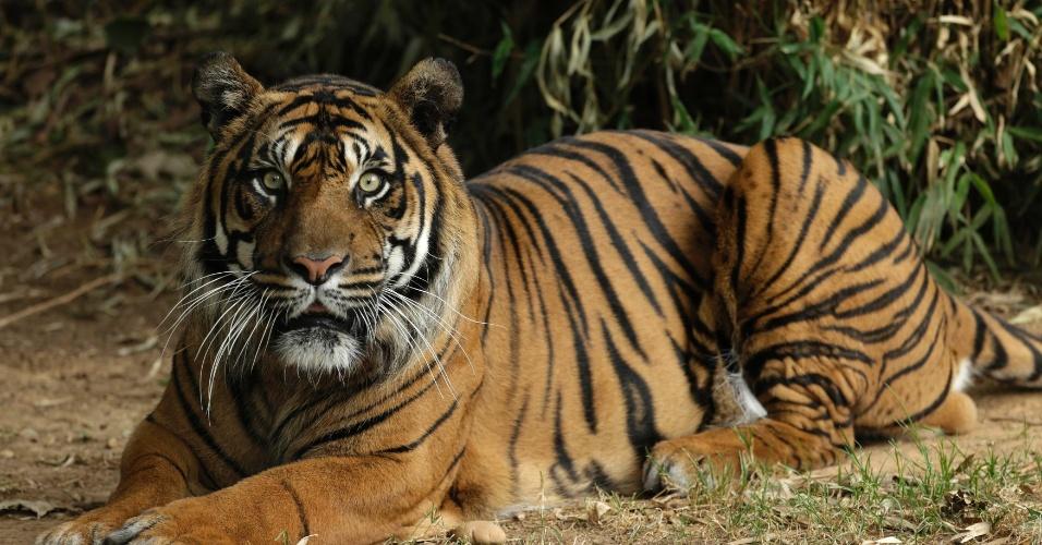 8.ago.2013 - Kavi, um tigre de Sumatra de 12 anos se tornou pai de dois filhotes na segunda-feira (5), ele e a família vivem no zoológico nacional Smithsonian, em Washington, nos Estados Unidos