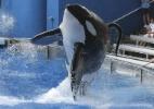 Morre a orca que matou treinadora no SeaWorld (Foto: Mathieu Belanger/Reuters)