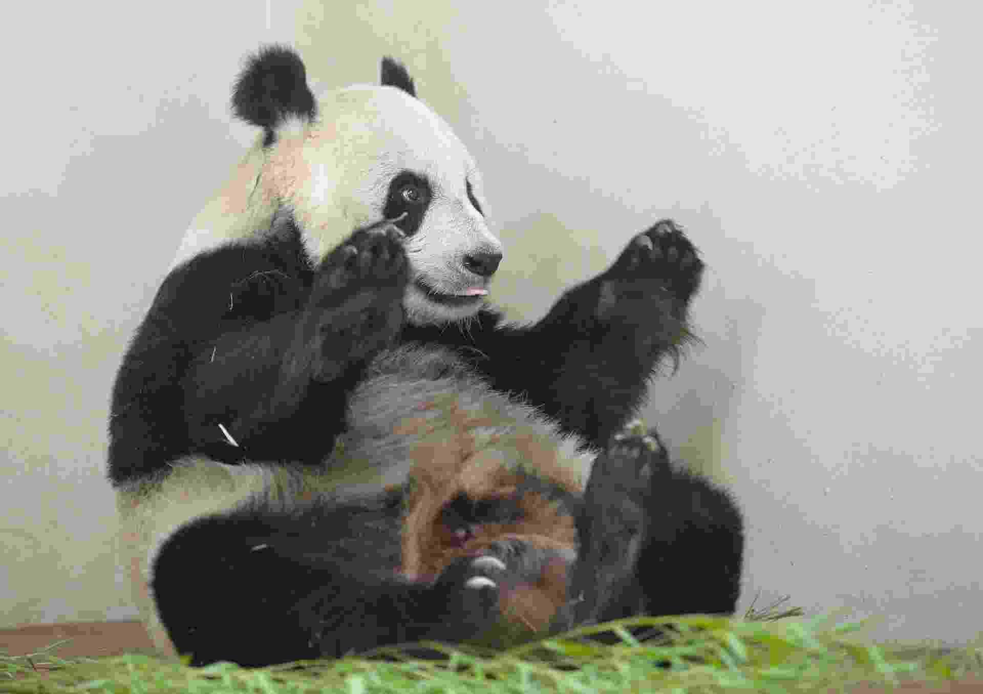 9.ago.2013 - A panda gigante Tian Tian brinca em seu recinto no zoológico de Edimburgo, na Escócia, nesta sexta-feira (9). O parque escocês anunciou hoje que a única fêmea que vive em cativeiro no Reino Unido pode estar grávida -  além de significativas mudanças no comportamento, os níveis de hormônios e proteínas sugerem que ela esteja esperando um filhote -, mas isso só será confirmado pouco antes de Tian Tian dar à luz, o que deve levar um mês - Russell Cheyne/Reuters