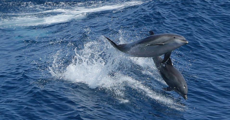 """9.ago.2013 - Os Estados Unidos estão investigando a morte de mais de 120 golfinhos da espécie nariz-de-garrafa na costa leste do país desde o mês passado. Em julho, 89 animais encalharam nas praias dos Estados de Nova York, Nova Jersey, Delaware, Maryland e Virgínia e, em agosto, já foram encontrados outros 35 carcaças, segundo a Administração Nacional Oceânica e Atmosférica dos Estados Unidos (NOAA, na sigla em inglês), órgão federal. A maioria dos golfinhos tinham """"lesões pulmonares"""", por isso, o órgão federal não suspeita de intervenção humana, mas de uma possível infecção pelo vírus Morbili"""
