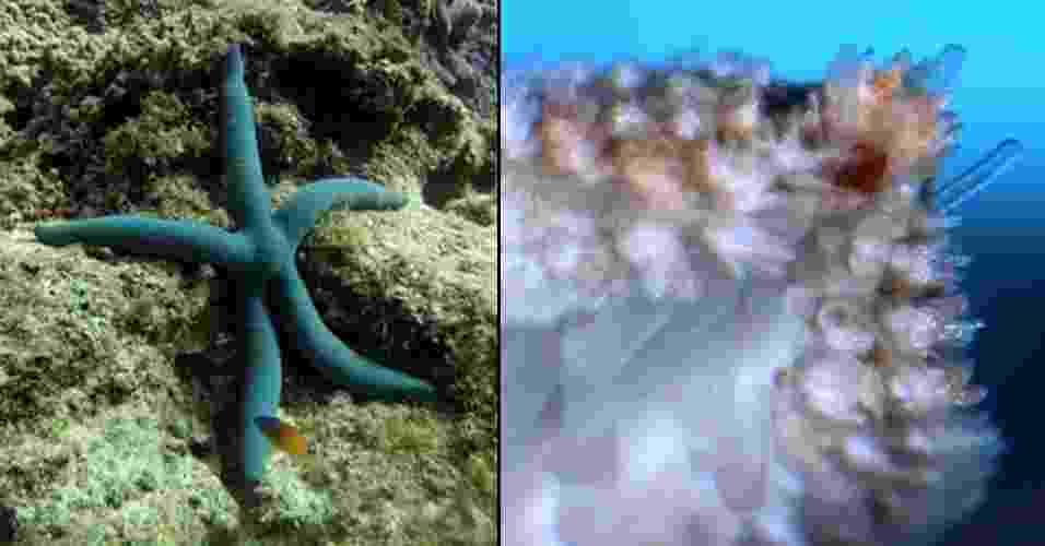 """9.ago.2013 - Uma espécie de estrela do mar encontrada nos corais de Akajima, no Japão (à esquerda), usa seus """"olhos primitivos"""" que ficam bem na ponta de seus braços (ponto vermelho, à direita) para se locomover em direção aos alimentos no fundo do mar. Cientistas conhecem a estrutura há mais de 200 anos, já que as espécies mais comuns do animal marinho possuem o olho primitivo no braço, mas sem que tenham uma função """"ótica"""". Por isso, afirma recente pesquisa da Universidade de Copenhague, na Dinamarca, esta é a primeira vez que um comportamento visual foi registrado na estrela do mar. O grupo diz, ainda, que as espécies que não tinham """"olhos"""" se moviam aleatoriamente no oceano, enquanto as com """"olhos"""" se mexiam com precisão rumo às presas - Anders Garm/University of Copenhagen e Dan-Erik Nilsson/Lund University"""
