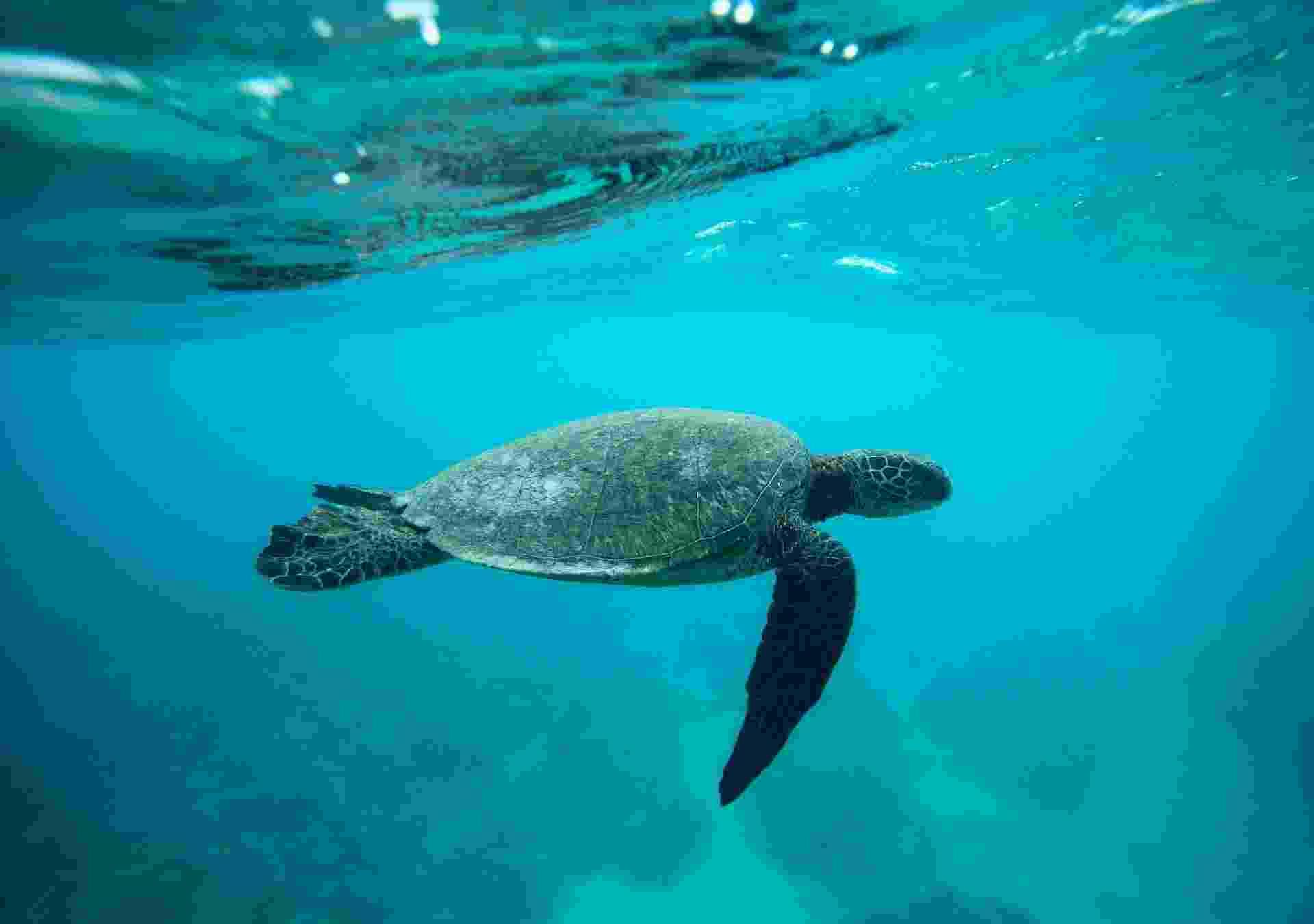 12.ago.2013 - Ameaçadas de extinção, as tartarugas marinhas estão ingerindo cada vez mais detritos e plástico do que há 30 anos, mostra estudo da Universidade de Queensland, na Austrália. O material pode ser letal, já que matam os animais marinhas ao bloquear seus estômagos e deixá-los famintos ou, então, ao perfurar seus intestinos - Hugh Gentry/Reuters