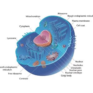 Célula eucariótica, biologia - Wikimedia Commons