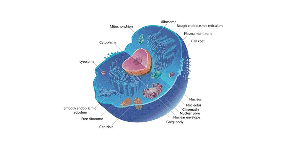 Célula eucariótica, biologia